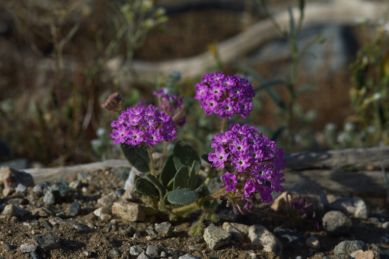 Abronia-villosa-sand-verbena-transition-zone-Fried-Liver-Wash-Joshua-Tree-2010-04-16-IMG 0282