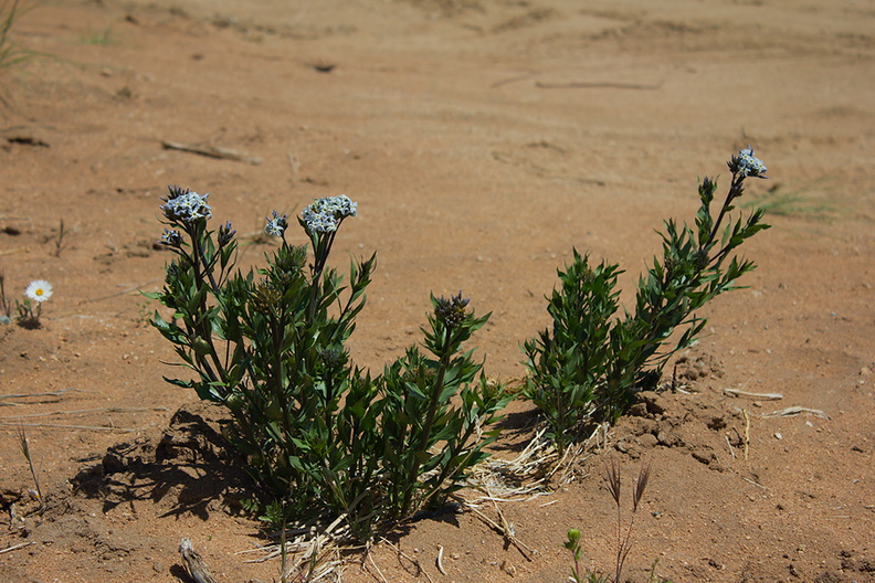 Amsonia-tomentosa-Sheep-Pass-area-Joshua-Tree-2010-04-25-IMG 0621
