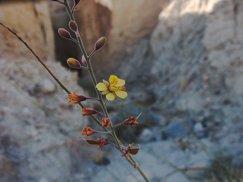 Caesalpinia-virgata-new-wash-Box-Canyon-2012-03-14-IMG 1119
