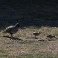 California-quail-and-chicks-near-motel-Twentynine-Palms-Joshua-Tree-2012-06-30-IMG 5650