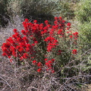 Castilleja-angustifolia-desert-paintbrush-northwest-Joshua-Tree-2010-04-25-IMG 4735