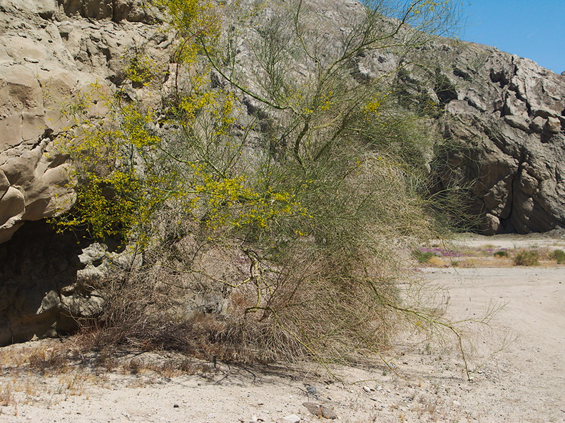 Cercidium-floridum-palo-verde-Box-Canyon-Joshua-Tree-2010-04-24-IMG 4572