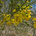Cercidium-floridum-palo-verde-Box-Canyon-Joshua-Tree-2010-04-24-IMG 4573