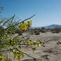 Cercidium-floridum-palo-verde-new-wash-Box-Canyon-2012-03-14-IMG 1089-1