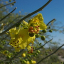 Cercidium-floridum-palo-verde-new-wash-Box-Canyon-2012-03-14-IMG 1090