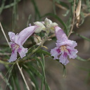 Chilopsis-linearis-desert-willow-Barker-Dam-Joshua-Tree-2012-06-30-IMG 5625