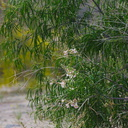 Chilopsis-linearis-desert-willow-Box-Canyon-Joshua-Tree-2010-04-17-IMG 0432
