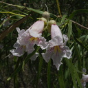 Chilopsis-linearis-desert-willow-Box-Canyon-Joshua-Tree-2010-04-24-IMG 4544
