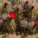 Echinocereus-triglochidiatus-Mohave-mound-cactus-Sheep-Pass-area-Joshua-Tree-2010-04-17-IMG 0332