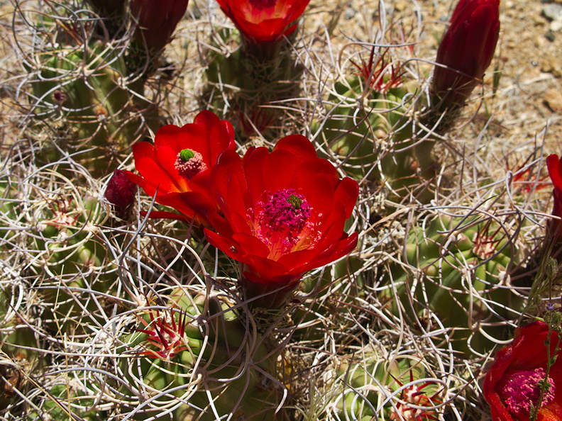 Echinocereus-triglochidiatus-Mojave-mound-cactus-Sheep-Pass-area-Joshua-Tree-2010-04-25-IMG_4806.jpg