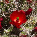 Echinocereus-triglochidiatus-Mojave-mound-cactus-Sheep-Pass-area-Joshua-Tree-2010-04-25-IMG 4816