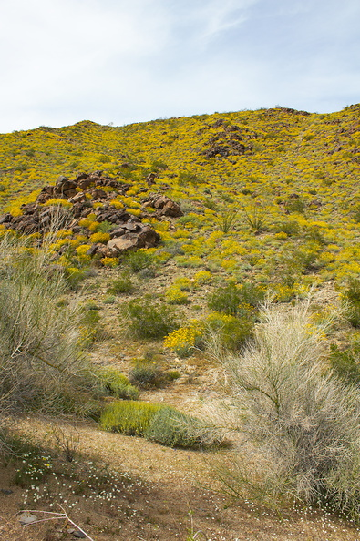 Encelia-farinosa-brittlebush-covering-hillsides-transition-zone-Joshua-Tree-2010-04-17-IMG_0378.jpg