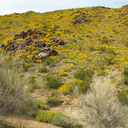 Encelia-farinosa-brittlebush-covering-hillsides-transition-zone-Joshua-Tree-2010-04-17-IMG 0378