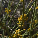 Ephedra-californica-desert-tea-pollen-cones-northwest-Joshua-Tree-2010-04-25-IMG 4740