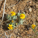 Eriophyllum-wallacei-woolly-daisy-north-Joshua-Tree-2010-04-17-IMG 0322
