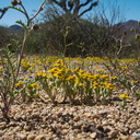 Eriophyllum-wallacei-woolly-daisy-northwest-Joshua-Tree-2010-04-25-IMG 4760