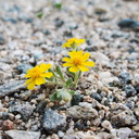 Eriophyllum-wallacei-woolly-daisy-transition-zone-Joshua-Tree-2010-04-24-IMG 4717