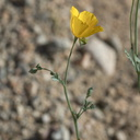 Eschscholzia-minutiflora-new-wash-Box-Canyon-2012-03-14-IMG 4367