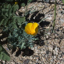 Eschscholzia-parishii-desert-gold-poppy-new-wash-Box-Canyon-2012-03-14-IMG 1112