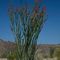 Fouquieria-splendens-Ocotillo-Patch-Joshua-Tree-2010-04-25-IMG 0668