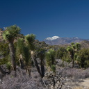 Joshua-trees-and-snow-covered-San-Gorgonio-High-View-loop-Black-Rock-Joshua-Tree-2013-02-17-IMG 7471