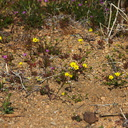 Linanthus-aureus-golden-gilia-north-Joshua-Tree-2010-04-17-IMG 0316