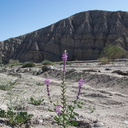 Lupinus-arizonicus-new-wash-Box-Canyon-2012-03-14-IMG 1104