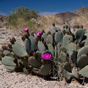 Opuntia-basilaris-beavertail-cactus-south-Joshua-Tree-2012-03-15-IMG 4466-3
