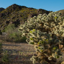Opuntia-echinocarpa-silver-cholla-transition-zone-Joshua-Tree-2010-04-24-IMG 4699