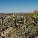 Opuntia-ramosissima-pencil-cholla-Cottonwood-Spring-area-Joshua-Tree-2010-04-24-IMG 4691