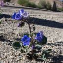 Phacelia-campanularia-Canterbury-bells-new-wash-Box-Canyon-2012-03-14-IMG 1132
