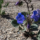 Phacelia-campanularia-Canterbury-bells-new-wash-Box-Canyon-2012-03-14-IMG 1136