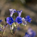 Phacelia-campanularia-Canterbury-bells-new-wash-Box-Canyon-2012-03-14-IMG 4399