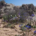 Phacelia-campanularia-and-blazing-star-Mastodon-Peak-Joshua-Tree-2012-03-15-IMG 1291-1