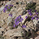 Phacelia-crenulata-notch-leaved-phacelia-Mastodon-Peak-Joshua-Tree-2012-03-15-IMG 1322
