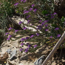 Phacelia-distans-wild-heliotrope-Box-Canyon-Joshua-Tree-2010-04-24-IMG 4554