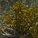 Phoradendron-bolleanum-mistletoe-High-View-loop-Black-Rock-Joshua-Tree-2013-02-17-IMG 7478