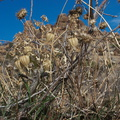 Physalis-crassifolia-nightshade-groundcherry-dry-fruits-Mastodon-Peak-trail-Joshua-Tree-2013-02-15-IMG 3536