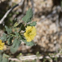 Physalis-crassifolia-thick-leaved-ground-cherry-Mastodon-Peak-Joshua-Tree-2012-03-15-IMG 4544