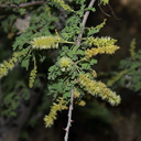 Prosopis-pubescens-screwbean-flowering-Hidden-Valley-Joshua-Tree-2012-06-30-IMG 5489