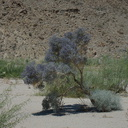 Psorothamnus-arborescens-Mojave-indigo-bush-in-dry-wash-along-Box-Canyon-Rd-Joshua-Tree-2012-07-01-IMG 5758