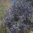 Psorothamnus-arborescens-Mojave-indigo-bush-in-dry-wash-along-Box-Canyon-Rd-Joshua-Tree-2012-07-01-IMG 5760