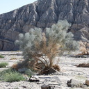 Psorothamnus-spinosus-smoke-tree-new-wash-Box-Canyon-2012-03-14-IMG 1102