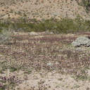 Salvia-columbariae-chia-carpet-near-Cactus-Garden-Joshua-Tree-2012-03-14-IMG 1154
