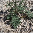 Salvia-columbariae-chia-leaves-new-wash-Box-Canyon-2012-03-14-IMG 1099