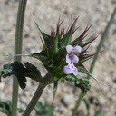 Salvia-columbariae-chia-new-wash-Box-Canyon-2012-03-14-IMG 1100