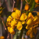 Senna-covesii-Coves-cassia-Joshua-Tree-2010-04-16-IMG 0274