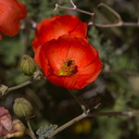 Sphaeralcea-ambigua-desert-mallow-south-Joshua-Tree-2010-04-16-IMG 0231