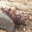 Tetracoccus-hallii-Desert-Queen-Mine-Joshua-Tree-2013-02-16-IMG 3576