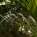Washingtonia-filifera-California-fan-palm-showing-threads-49-Palms-Joshua-Tree-2013-02-16-IMG 3564